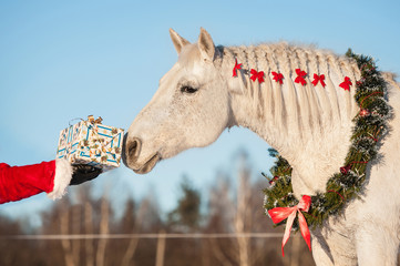 White horse with christmas wreath taking a gift from santa's hand