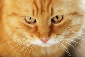 Closeup portrait of red cat