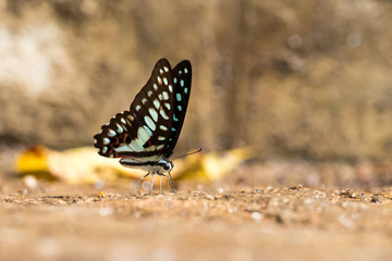 Common Jay (Graphium doson) Butterfly drinking water with boken background