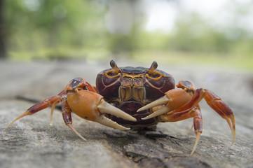 Mealy crab(Thaipotamon chulabhorn)