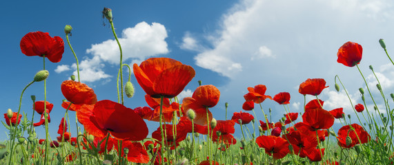 Fotobehang Poppy red poppy and clouds