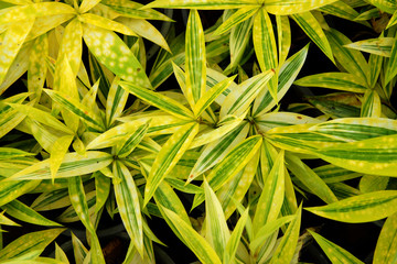 Foliage leaves of dracaena, Gold-dust dracaena or Spotted dracae