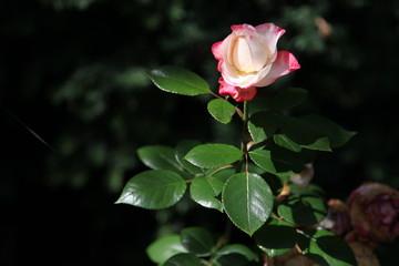 Rose zart rot gerandet in strahlendem Sonnenschein
