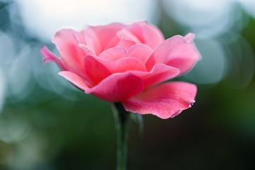 red rose outside