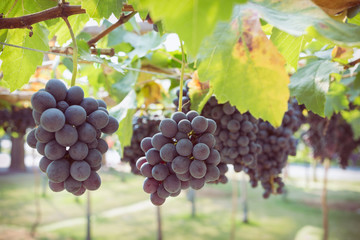 grapes fruit in farm viticulture of agriculture Fototapete