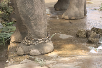 Closeup of chained elephant legs with excrement left under elephant