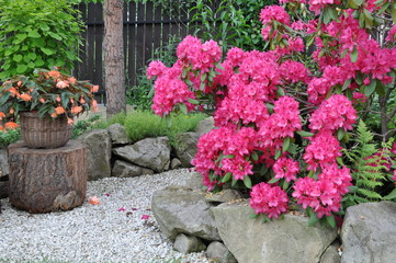 Pink rhododendron bush in the garden