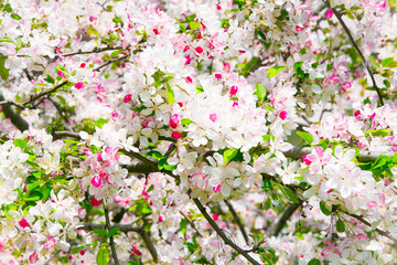 Tree blooming in spring: little white and pink flowers on branches