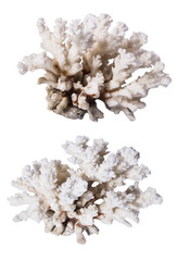 Two corals isolated on white