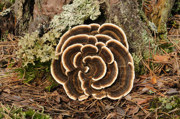Trametes versicolor, also known as Coriolus versicolor and Polyporus versicolor