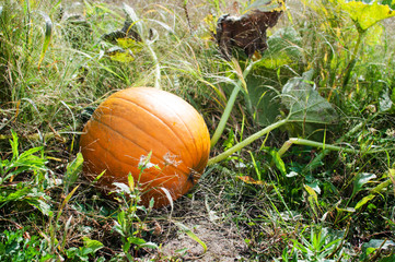 big orange pumpkin growing in a field