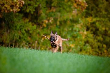 malinois puppy running outdoors