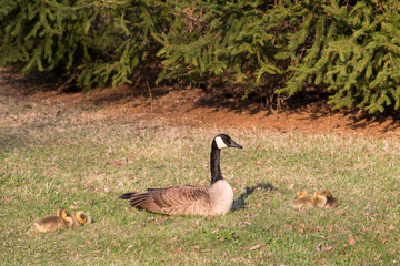 Mother Goose with Yellow Goslings