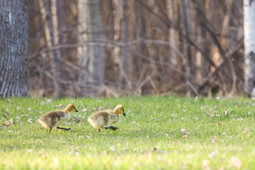Baby Geese Walking with Determination