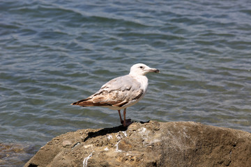 Seagull on stone in sea water
