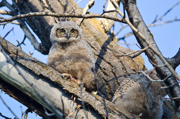 Cute Young Owlet Perched in a Tree