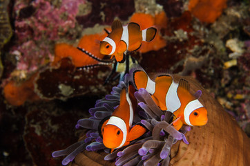 scuba diving lembeh  Indonesia Anemonefish underwater