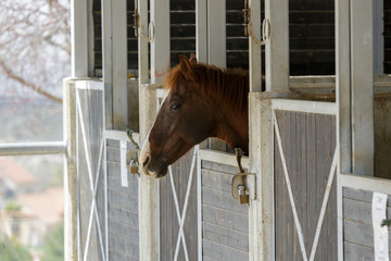 Single brown horse with white stripe portrait