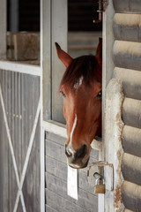 One brown horse with white stripe portrait