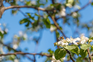 The apple tree (Malus domestica) with bee. Blossom. Household plot. Dacha.