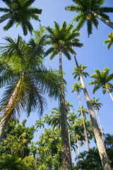 Tall Royal Palm Trees Botanic Garden Rio
