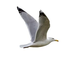 European herring gull isolated on white