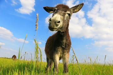 Donkey in a Field in sunny day
