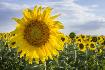Sunflower, Species, Helianthus annuus, crop landscape, Andalusia