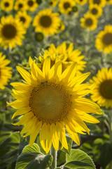 Sunflower, Species, Helianthus annuus, crop landscape, Andalusia