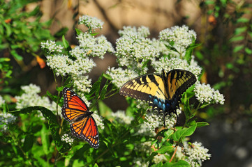 Monarch and Swallowtail Butterflies on milkweed plants