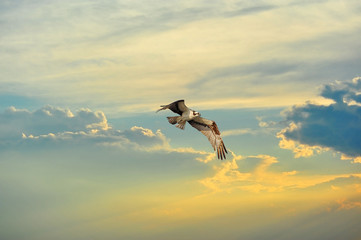 Osprey flying in clouds at sunset Wall mural