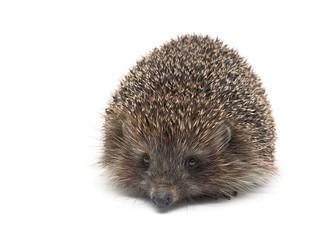 hedgehog isolated on white background close up.
