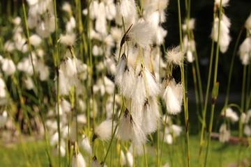 Common Cottongrass plant (Eriophorum Angustifolium) in Innsbruck
