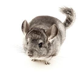 Chinchilla, Rodent, Cut Out.