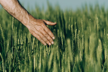 Hand of a farmer touching ripening wheat ears in early summer..