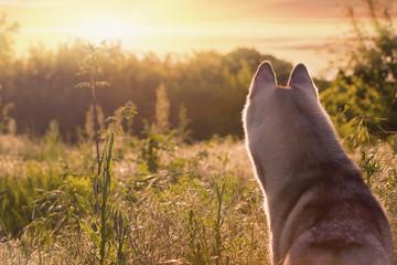 beautiful and cute fun  dog in sunset nature. Siberian husky.