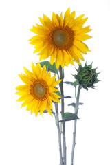 Sunflowers isolated on a white background