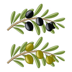 Two olive branches with black and green fruits