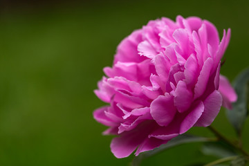 Close up of peony on green background
