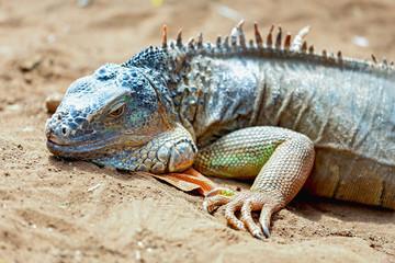 Iguana or lizard on yellow sand