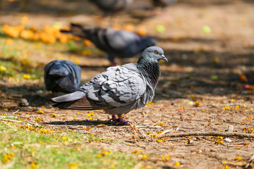 Pigeons are on the floor to find some food