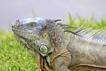 Male Iguana, Florida wildlife