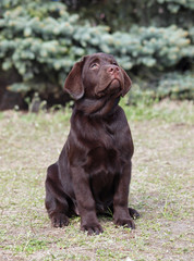Beautiful chocolate Labrador puppy sits on natural background