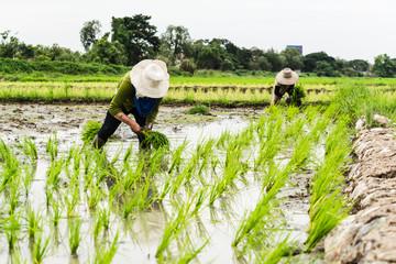 Asian female farmer planting rice in field