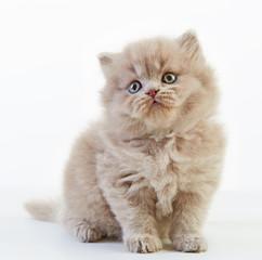 british long hair kitten
