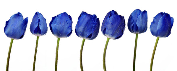Foto op Canvas Tulp Dewy blue tulips isolated on white background