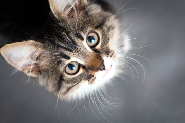 Foto op Plexiglas Kat little fluffy kitten on a gray background
