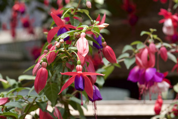 Fuchsia in garden