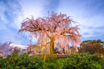 Maruyama Park in Spring
