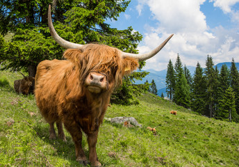 Highland Cattle In The Nocky Mountains Of Carinthia